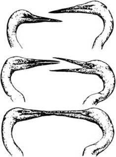 Рнс. 5. Белые цапли обмениваются церемониальным «поцелуем», который, по Н. Тинбергену (1969), устраняет «недоверие» между самцом и самкой. Автор этой книги считает, что «поцелуй» — это только ритуал передачи корма самке самцом