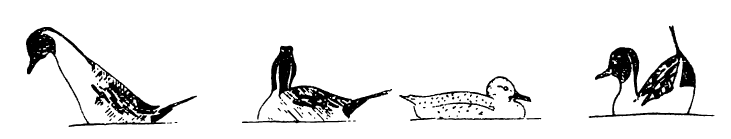 Рис. 8. Поза демонстративного брачного поведения у шилохвости