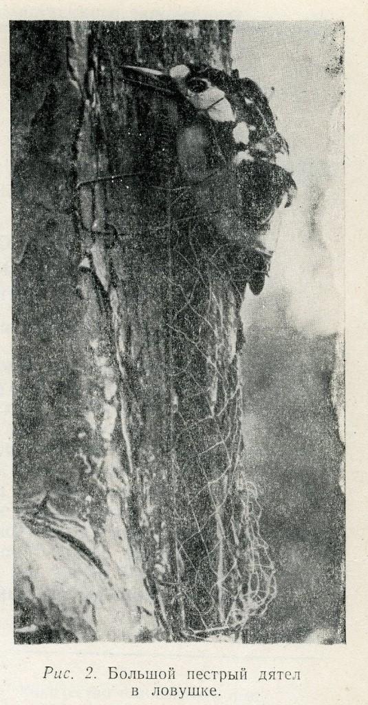 Рис. 2. Большой пестрый дятел в ловушке.