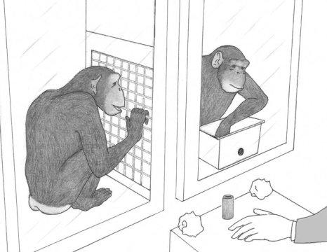 Одно из немногих исследований спонтанной кооперации у шимпанзе