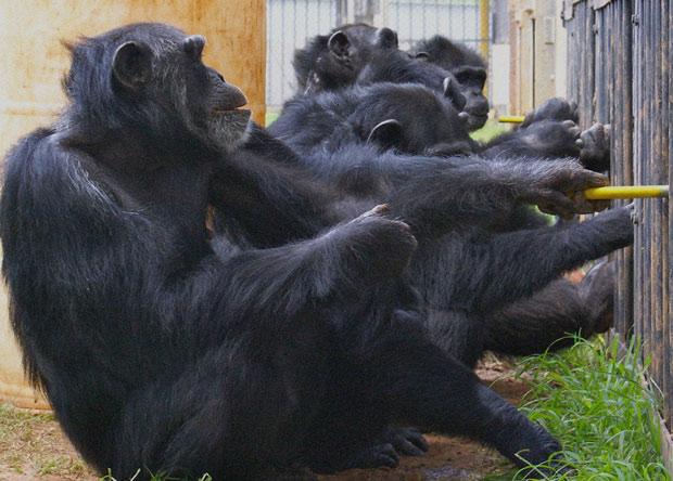Шимпанзе взаимодействуют друг с другом, чтобы совместными усилиями достать фрукты