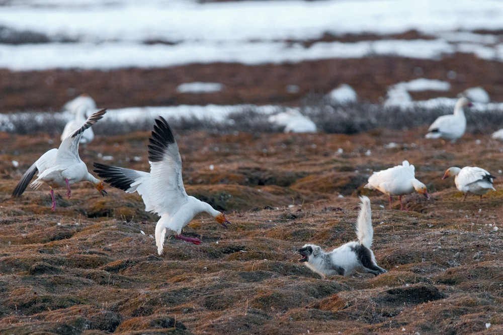 Белые гуси на колонии атакуют песца