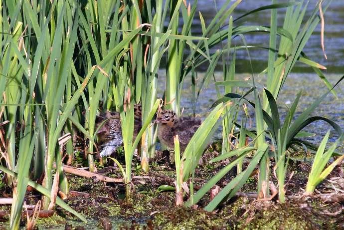 Птенцы озёрной чайки
