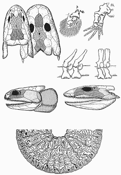Преемственность анатомических структур (череп, конечности и позвонки) кистеперых рыб и амфибий: идентичные кости черепа имеют одинаковую заливку; идентичные кости обозначены одинаковыми буквами