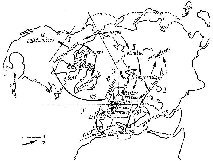 Схема филогенетических отношений между географическими формами группы серебристая чайка - клуша (по Тимофееву - Ресовскому и Штреземанну, 1959). В Беломорско-Балтийском районе встречаются 4 формы: argentatus, antelius (heuglini), omissus, fuscus; из них наиболее обособлена клуша fuscus: I - границы между группами форм, иногда выделяемых в самостоятельные виды (I - серебристая чайка, II - чайка хохотунья, III - клуша, IV - калифорнийская чайка), 2 - предполагаемые пути возникновения и расселения отдельных форм.