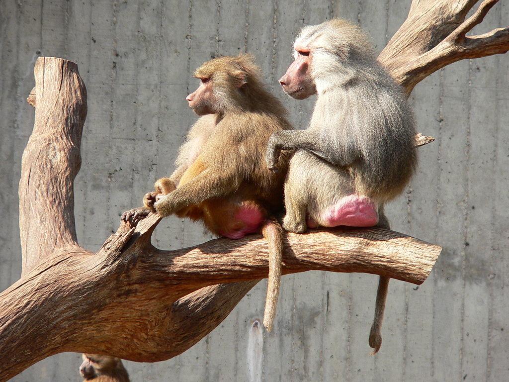 Гамадрилы, самец (справа) и самка
