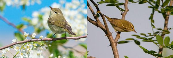 """""""Представители двух «крайних» (наиболее сильно дивергировавших) подвидов зеленой пеночки, почти утративших способность к гибридизации: западная форма Phylloscopus trochiloides viridanus (слева) и восточно-сибирская форма Phylloscopus trochiloides plumbeitarsus (справа)"""". Так считали сторонники идей """"кольцевых ареалов"""", но это не подтвердилось."""