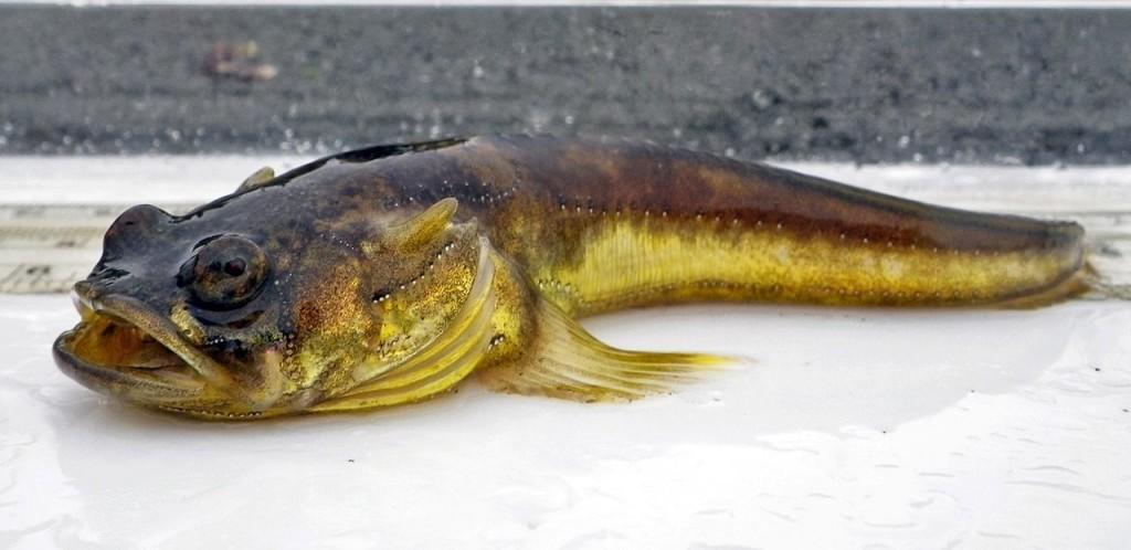Рыба-мичман Porichthys notatus