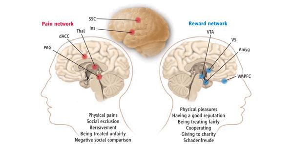"""""""Система положительного подкрепления, или получения награды, состоит из вентральной области покрышки (VTA — ventral tegmental area), вентральной части полосатого тела(VS — ventral striatum), вентромедиальной префронтальной коры (VMPFC — ventromedial prefrontal cortex) и миндалины (Amyg — amygdala)"""". Источник"""