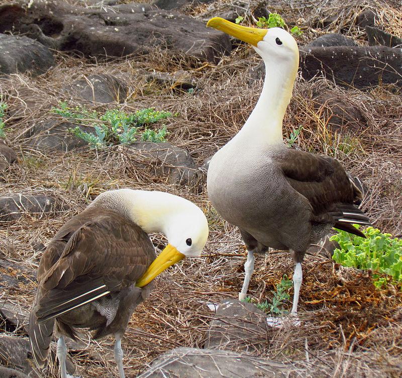 Волнистые, или галапагосские альбатросы Phoebastria irrorata
