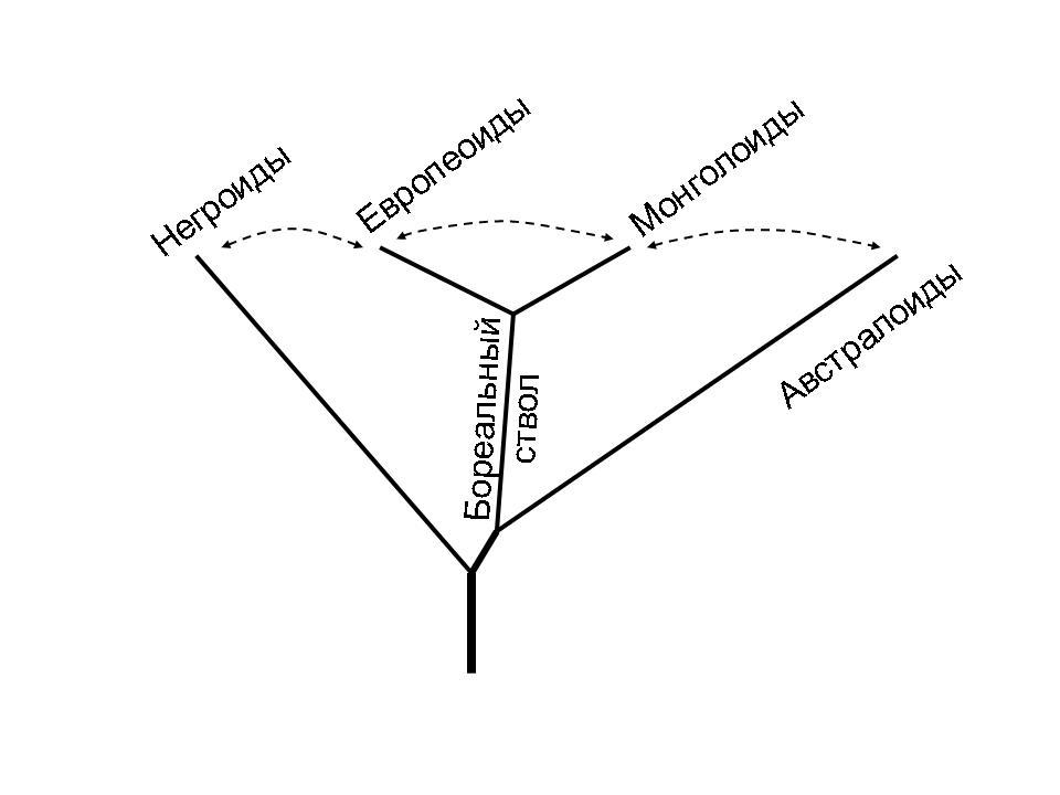 Схема генеалогических отношений основных человеческих рас. Древнейшие африканские линии не показаны. Пунктиром обозначены главные направления метисации. Из: А.Г.Козинцев. Европеоиды, монголоиды, австралоиды: стадиальность или метисация?