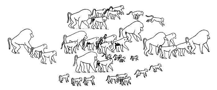 Ранжированный порядок следования группы гамадрилов (Papio hamadryas) (по Иванову, 2007).