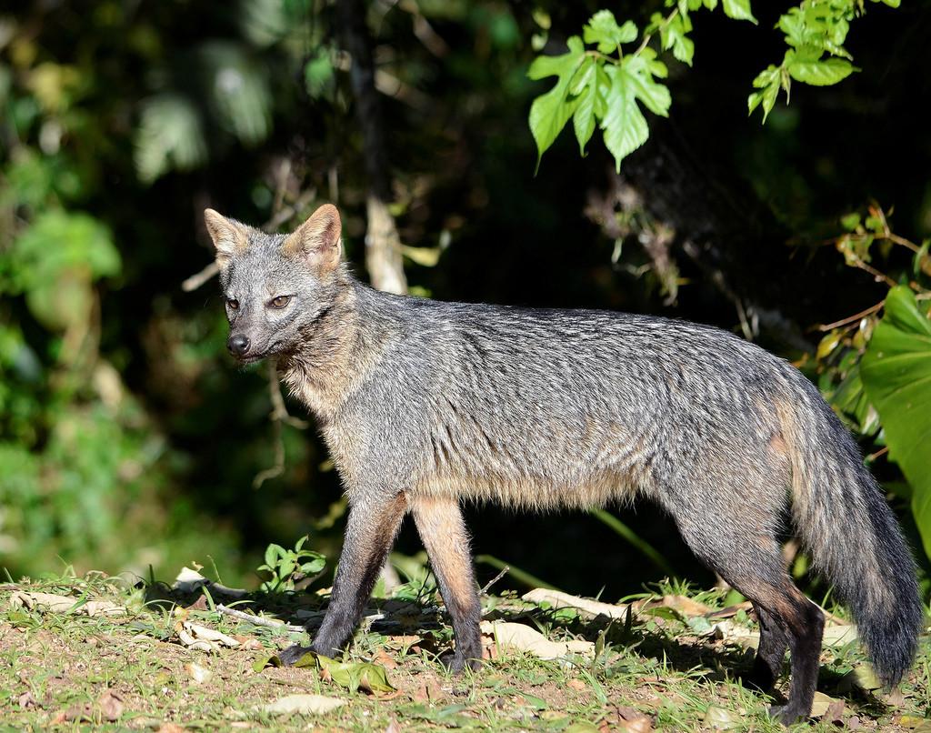 Майконг, или лисица-крабоед Cerdocyon thous