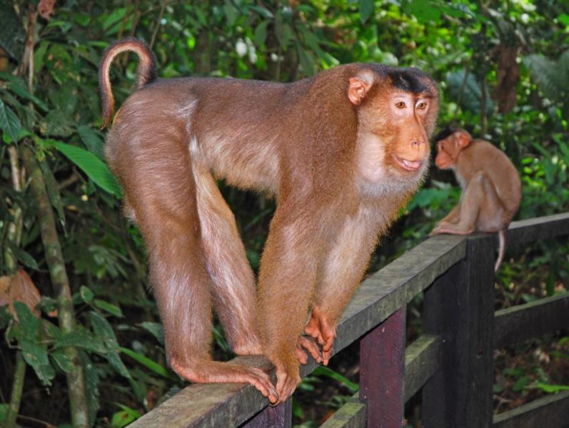 Свинохвостый макак или лапундер Macaca nemestrina