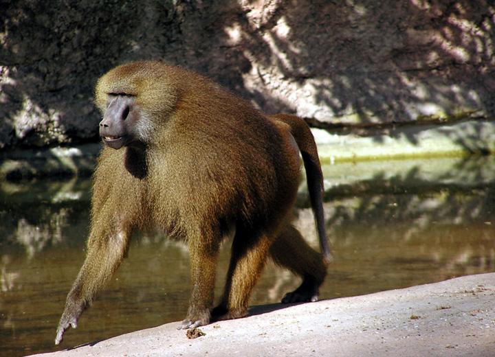 Бабуин или жёлтый павиан Papio cynocephalus