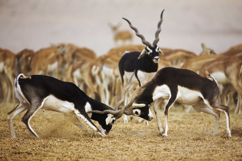 Антилопа гарна Antilope cervicapra