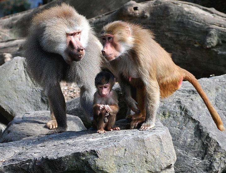 Гамадрилы Papio hamadryas: самец, самка, детёныш