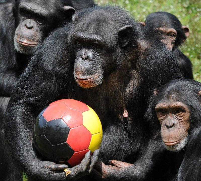 101315946-chimpanzee-germany_custom-87afc1c88beb14c386500ba29b2386c0b38cb207-s800-c85
