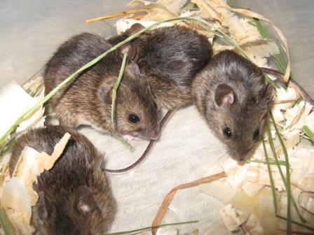 Лесная мышь Apodemus uralensis