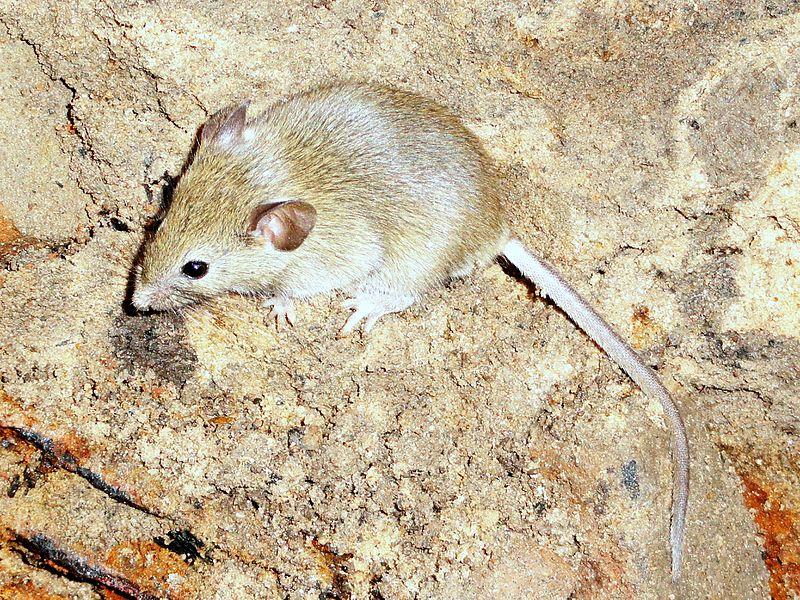 Мышь_домовая