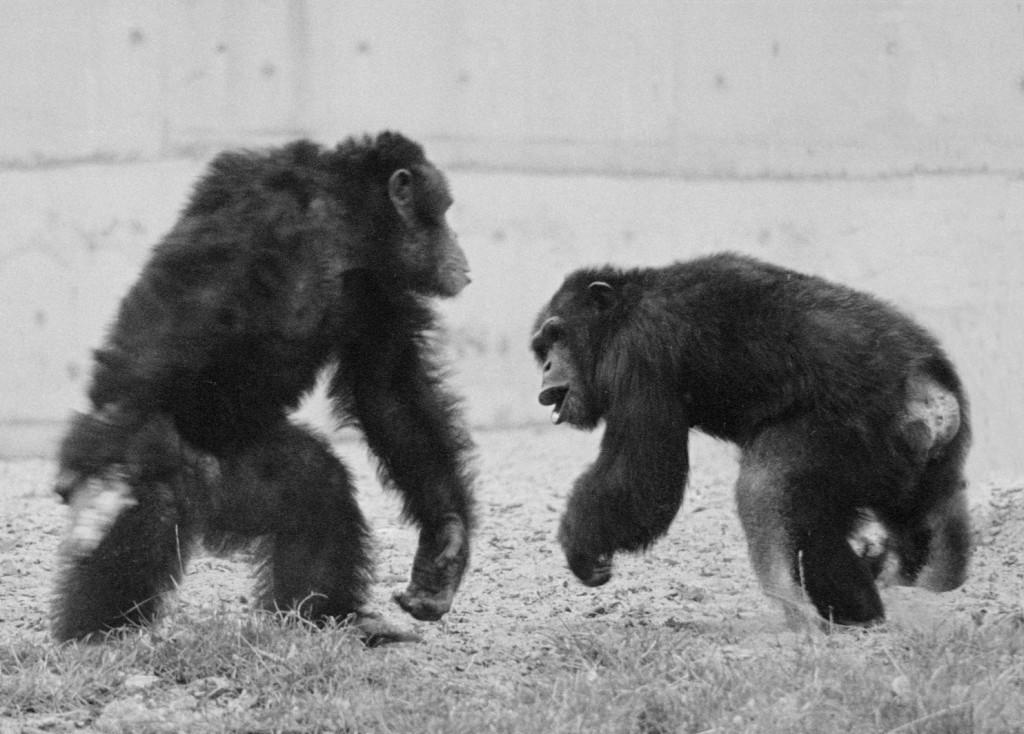 Конфликт двух самцов шимпанзе. Доминант слева, подчинённый справа. Они одного размера (и силы), но левый дыбит шерсть и кажется больше. Фото Ф. де Ваала.