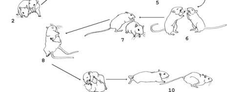Авторами проведён сравнительный анализ поведения трех видов песчанок, различающихся по степени социальности монгольской (Meriones unguiculatus), краснохвостой (M.lybicus) и полуденной (М....