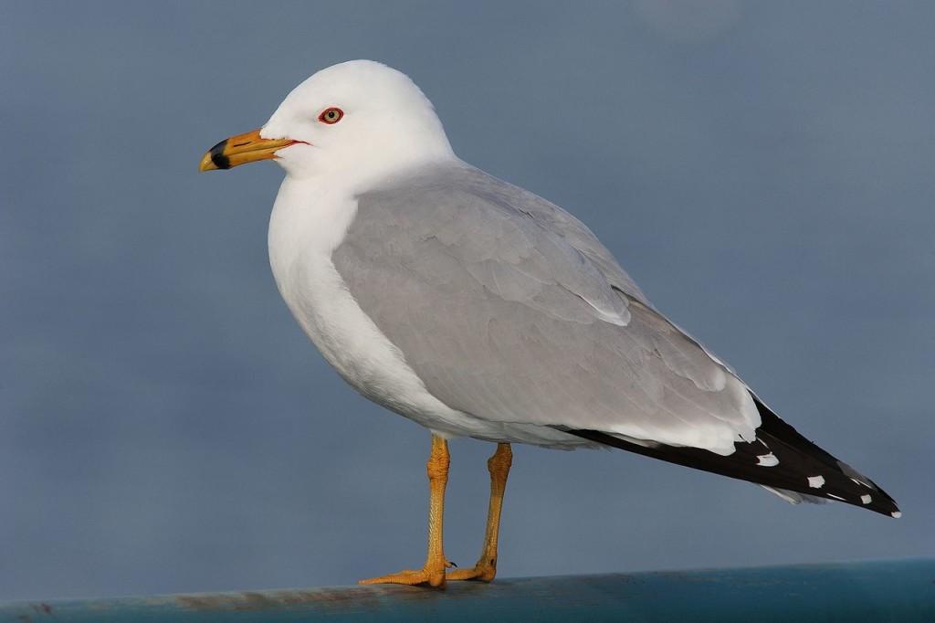 Кольцеклювая чайка Larus delawarensis