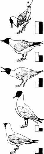 Позы угрозы взрослых озёрных чаек. Разные позы связаны с разным «соотношением сил» тенденций к атаке (темные столбцы) и избеганию (светлые столбцы). Источник: M. Moynihan. Some Aspects of Reproductive Behavior in the Black-Headed Gull (Larus ridibundus L.) and Related Species. Behaviour Suppl., 1955.