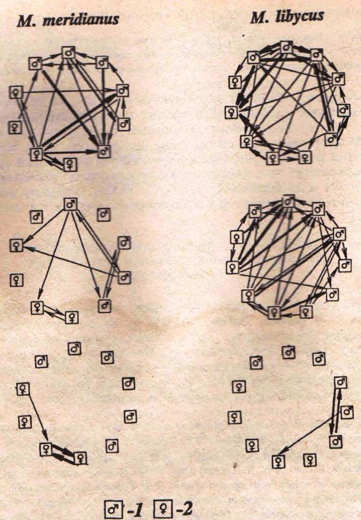 Рис. 2. Структура взаимоотношений в агрегациях полуденных и краснохвостых песчанок. Социограммы по направленности поведенческих актов (толщина стрелок пропорциональна числу зарегистрированных актов). А (вверху)—акты прямой агрессии и угрозы; Б (в середине)—реакции избегания; В (внизу) — акты подчинения. 1 — взрослые самцы; 2 — взрослые самки. В агрегациях полуденных песчанок отношения хаотичны: трудно выделить доминирующих и подчиненных зверьков. В агрегациях краснохвостых песчанок можно выделить доминирующих и низкоранговых особей, точнее стабильно побеждающих и стабильно проигрывающих. Направленность реакций избегания обратна направленности агрессивных реакций. Отношения подчинения не выражены у обоих видов.