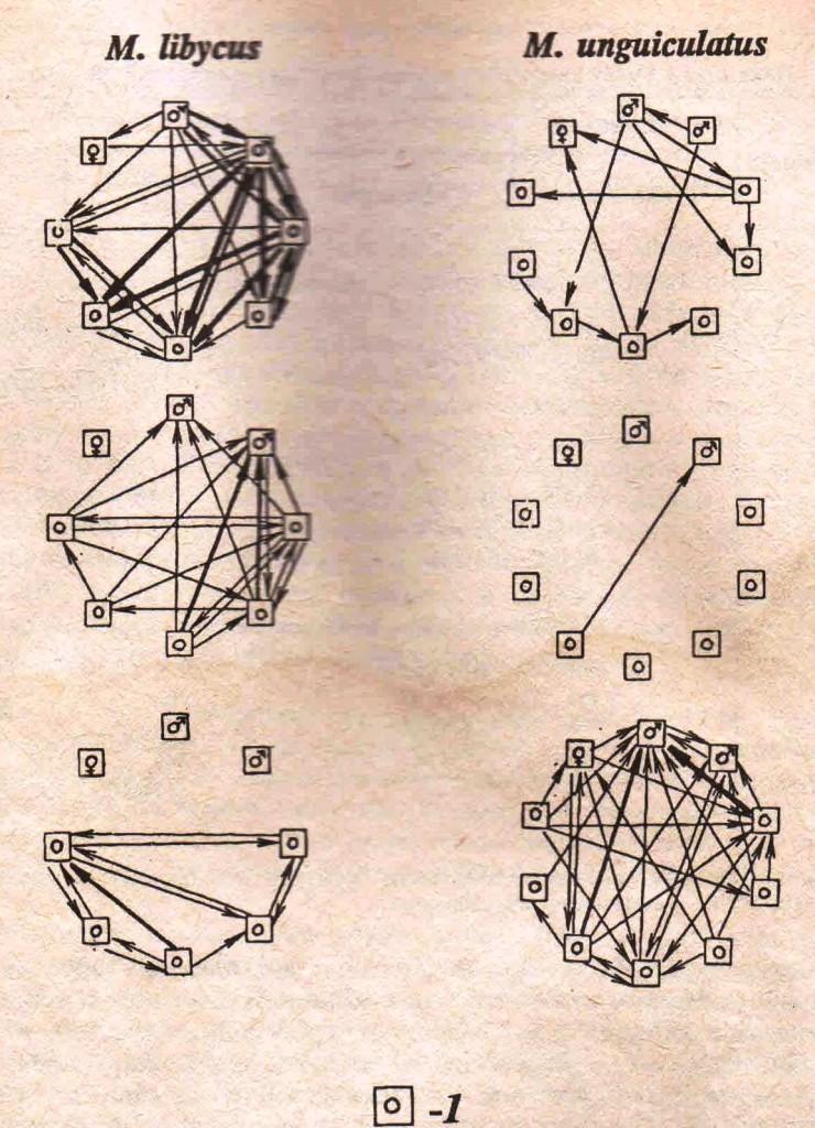Рис. 3. Структура взаимоотношений в семейных группах краснохвостых и монгольских песчанок. 1 — молодые и полувзрослые зверьки; остальное, как на рис. 2. Отношения между краснохвостыми песчанками в семейных группах строятся по тому же принципу, что и в агрегациях (рис. 2). В семейных группах монгольских песчанок отчетливо выражена «иерархия подчинения».