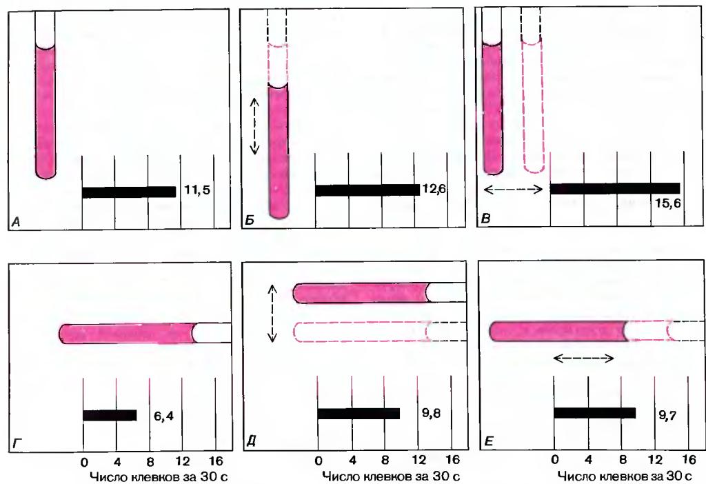 Рис. 116. Эффективность различных стимулов испытывали с помощью деревянных палочек, по толщине примерно равных клюву взрослой чайки. Подсчитывали среднее число клевков для группы из 25 птенцов за 30 секунд. Предъявляли: вертикальную неподвижную палочку (А); вертикальную палочку, движущуюся вертикально (Б) или горизонтально (В); неподвижную горизонтальную палочку (Г); горизонтальную палочку, движущуюся вертикально (Д) или горизонтально (Е).