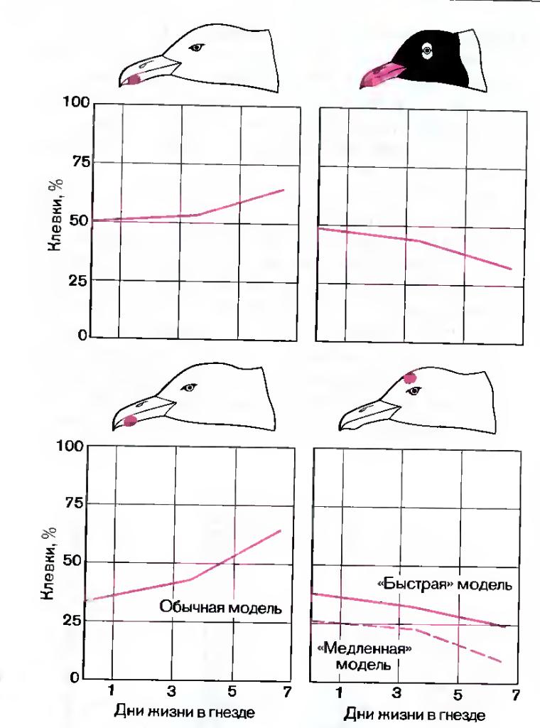 Рис. 118. Реакция птенцов серебристой чайки на различные модели изменяется с возрастом. Вверху слева-модель головы серебристой чайки, вверху справа-смеющейся чайки. Внизу-две модели головы серебристой чайки; у модели слева пятно расположено нормально (на клюве), у модели справа- на лбу.