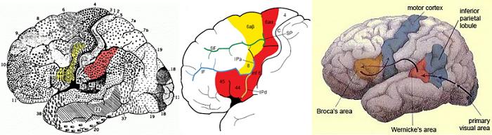 """""""Сканирование мозга, в частности, методы нейровизуализации позволили определить регионы, в которых ЗН есть у людей. Ядро СЗН составляют премоторная кора и нижняя теменная долька. Проводились эксперименты, в которых участники сканировались в то время, когда они выполняли действия и, когда они наблюдали за действием или слышали, что другие люди выполняют аналогичные действия. Эти исследования выявили активацию дорсальной и вентральной премоторной коры, дополнительной моторной и задней теменной и височной и иногда соматосенсорной коры во время выполнения действия и при его восприятии""""."""