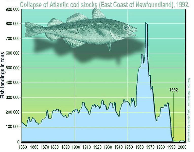 7. Атлантическая треска на Ньюфаундленде. «Коллапс северо-западного района промысла наступил в 1992 году; перелов наблюдается с 1950-х гг., его предвестники впервые проявились в 1970 г.»