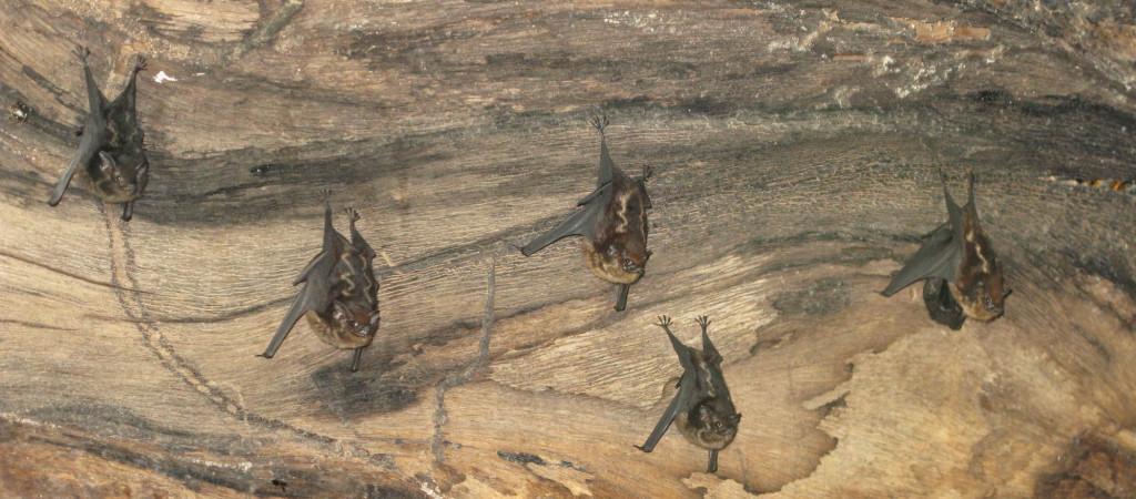 Двулинейный мешкокрыл Saccopteryx bilineata