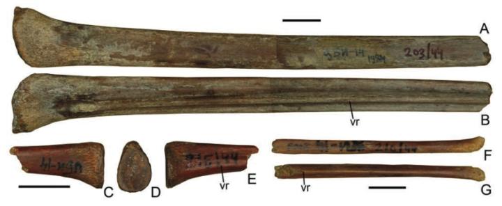 Фрагменты II (A, B) и III (C — E) летательной фаланги аждархид. vr — ventral ridge — уникальный гребень, который позволяет отличить аждархид от других птерозавров. Масштабная линия — 1 см. // A.O. Averianov. The osteology of Azhdarcho lancicollis Nessov, 1984 (pterosauria, azdarchidae) from the Late Cretaceous of Uzbekistan. / Proceedings of the Zoological Institute RAS Vol. 314, No. 3, 2010, рр. 264–317.
