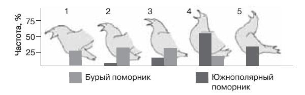 Между «долгими криками» двух видов поморников сохраняются устойчивые различия: 1–5 — последовательные фазы долгого крика, столбики внизу — частота встречаемости у того и другого вида. (По:. Pietz P., «Condor», 1985, т. 81).