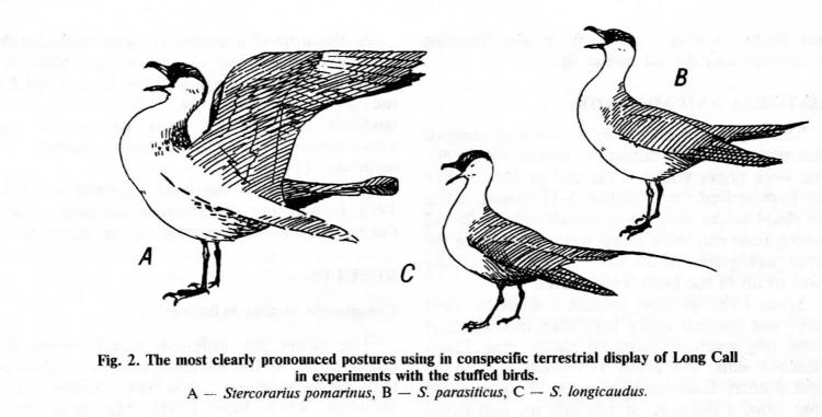 Рис. 2. Наиболее чётко проявляемые позы, используемые при внутривидовых демонстрациях «долгого крика» в экспериментах с чучелом. А – Stercorarius pomarinus, B – S.parasiticus, C – S.longicaudus