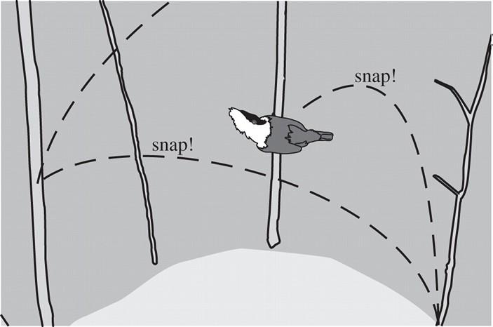 Схема танца самца золотистого короткокрылого манакина. Посмотреть, как это выглядит в природе, можно на видео. Рисунок из статьи J. Barske et al., 2011. Female choice for male motor skills