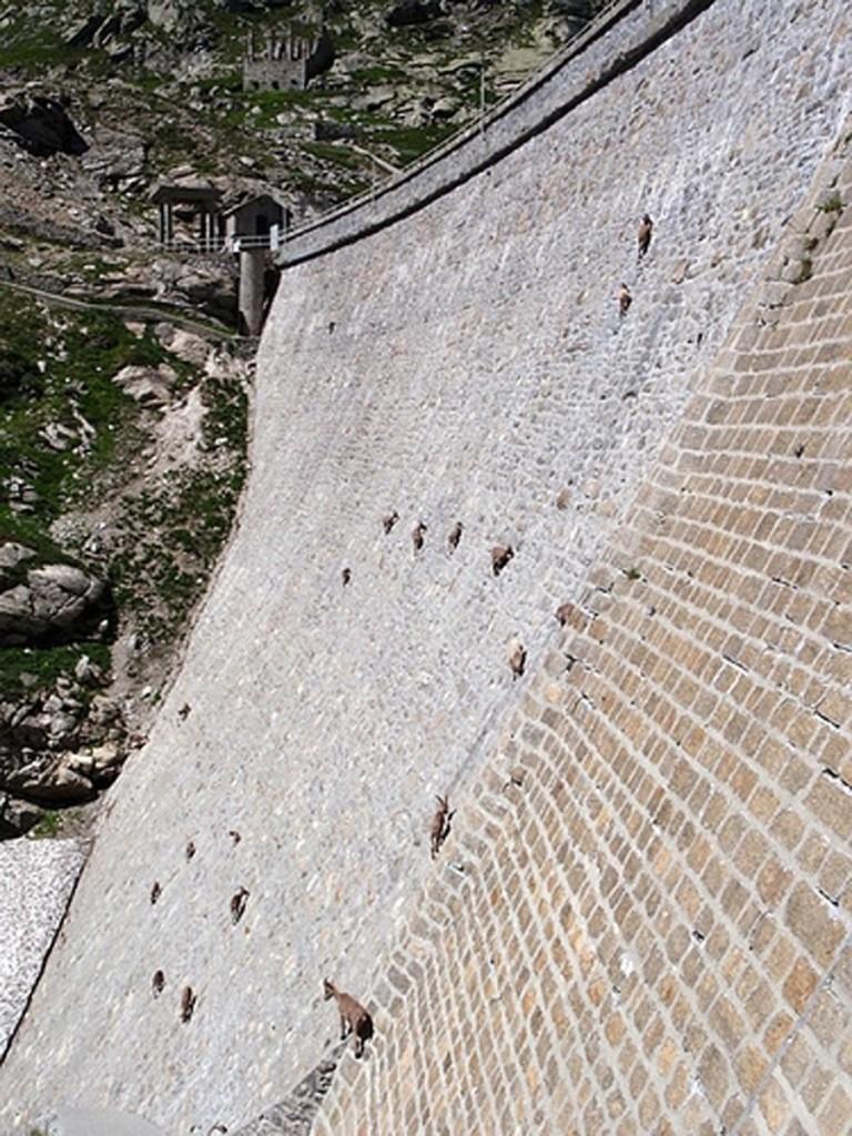 Альпийские козлы или ибексы. На 50-метровую почти вертикальную плотину их привлекает соль