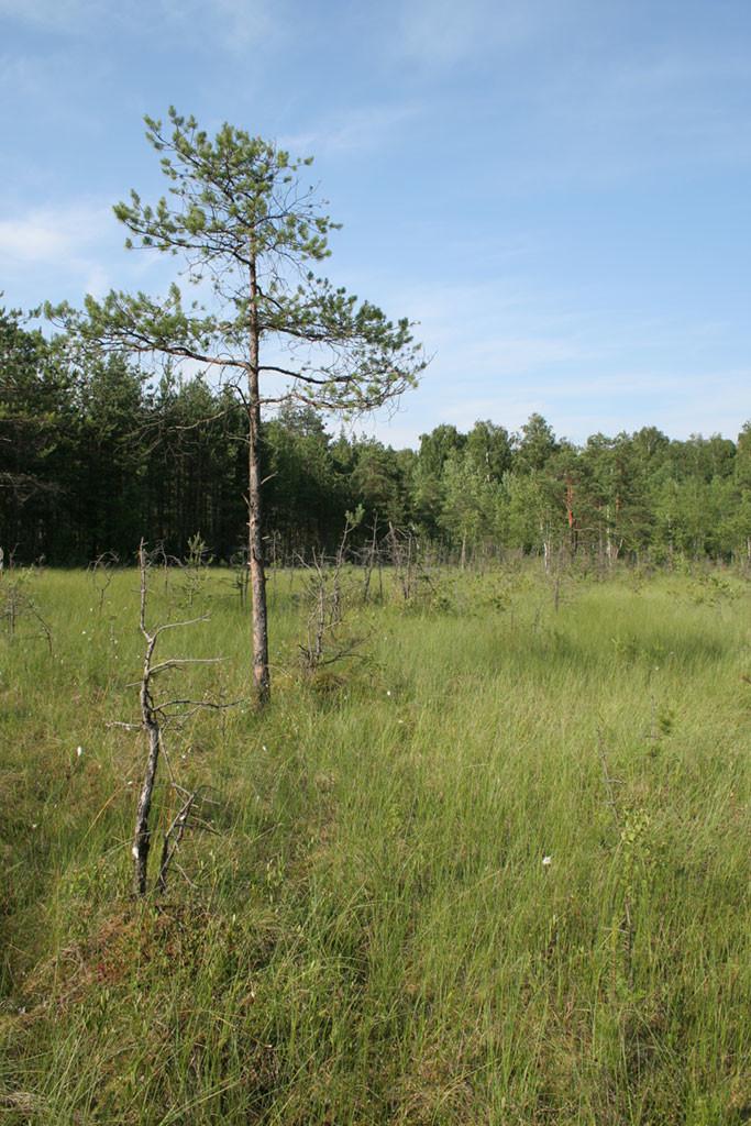 Верховое болото в Химкинском лесу