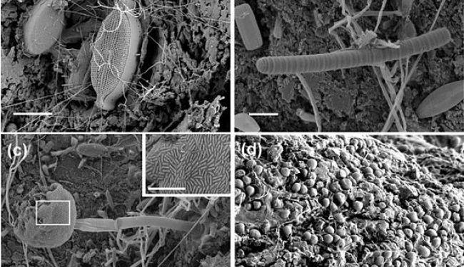 Микробы пластисферы под сканирующим электронным микроскопом: диатомовая водоросль и бактериальные филаменты (а); нитчатая цианобактерия (b); хищная сосущая инфузория, покрытая симбиотическими бактериями (с); некие микроорганизмы, обустраивающиеся в ямочках, выщербленных в пластике (d). Цена деления шкал – 0,01 мм. Фото и диаграмма ниже: Zettler et al., 2013.