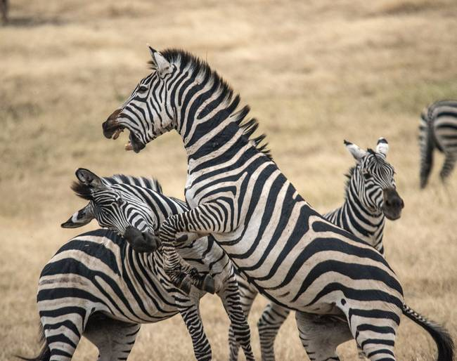 Zebras-Fighting-Ngorogoro-Crater_art