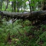 Основные концепции и методы восстановления природных лесов Восточной Европы