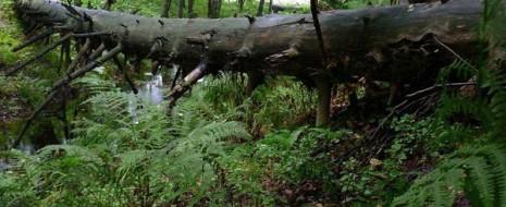 Современные леса на территории хвойно-широколиственной (гемибореальной) и широколиственной зон Восточной Европы сформировались в результате длительного антропогенного...