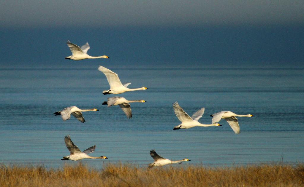 Взлетает стая лебедей-кликунов