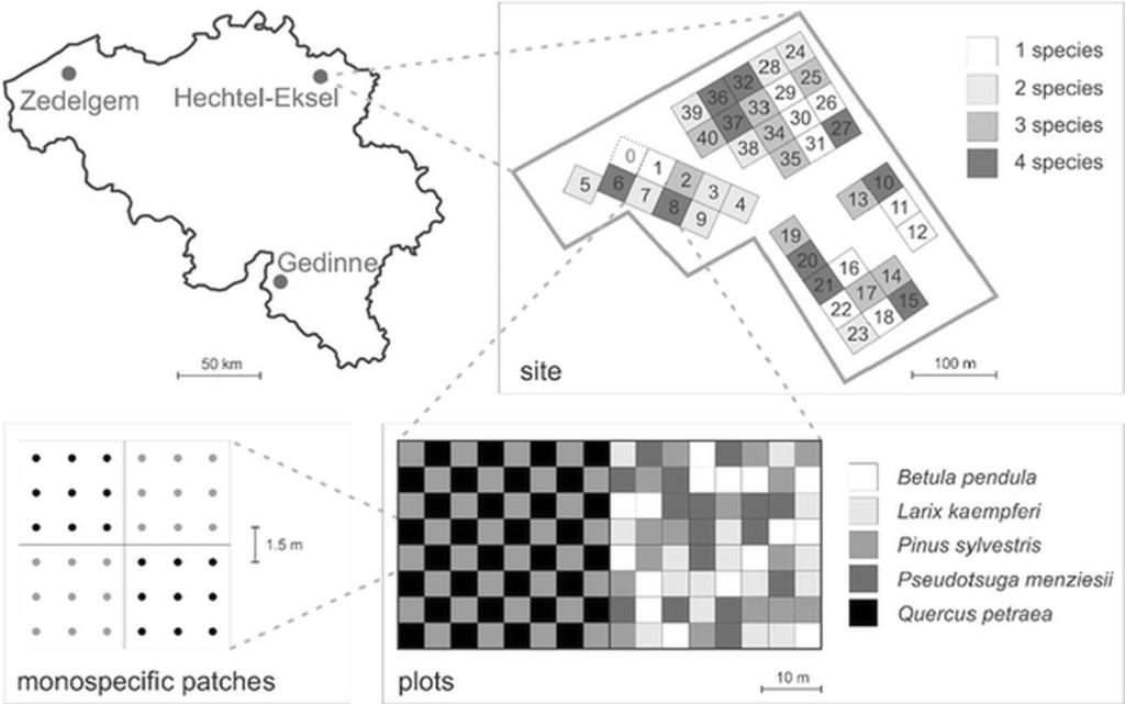Рис. 4. Схема экспериментов по сравнению одно-, двух-, трех- и четырехвидовых лесных культур в рамках проекта FORBIO (Бельгия) [58]