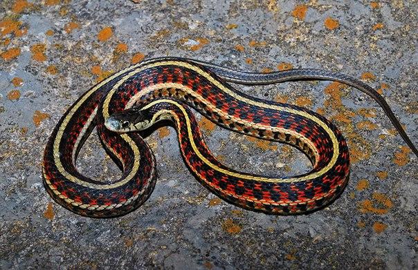 Подвязковая змея Thamnophis sirtalis parietalis
