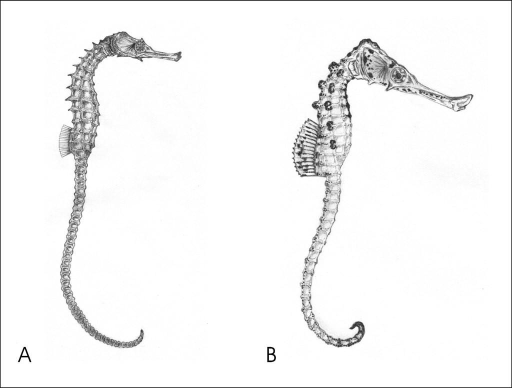 Реконструкция миоценовых морских коньков: A. Hippocampus sarmaticus sp. nov. (самка). B. Hippocampus slovenicus sp. nov. (самка).