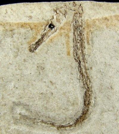 Hippocampus sarmaticus. Голотип